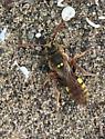 Nomada bee upstate NY - Nomada