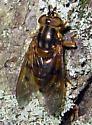 Syrphid Fly - Ferdinandea buccata