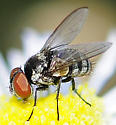 Parasitic Fly Tachinidae Genus Strongygaster - Strongygaster