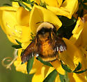 Large Bumble Bee - Bombus californicus