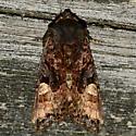 American Angle Shades - Euplexia benesimilis