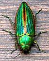 Beautiful buprestid - Buprestis aurulenta