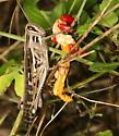 grasshopper - Schistocerca americana - female