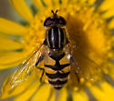 Unknown fly - Helophilus