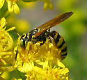 Bee Wolf - Philanthus