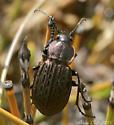 Carabus maeander/granulatus - Carabus maeander - male