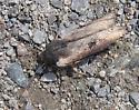 Cutworm? - Xylena thoracica