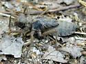 anisopteran nymph