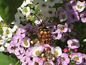 Beetle  - Typocerus