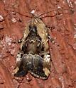 Chalcedony midget - Elaphria chalcedonia - female