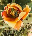 Bee in Opuntia flower - Diadasia