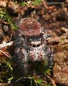 Salticidae sp. - Phidippus princeps