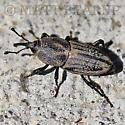 Brown Beetle - Sphenophorus parvulus