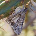 Moth on a cactus - Melipotis acontioides