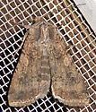 Peridroma saucia  - Peridroma saucia