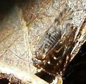 Idaho Psocid - Lachesilla nubilis