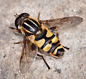 Syrphid Fly, Helophilus sp - Helophilus - male