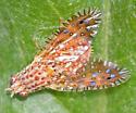 Kaleidoscope Fly - Paracantha