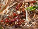 Harvester Ants - Pogonomyrmex badius