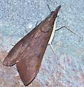 Genista Broom Moth-Hodges #4992 (Uresiphita reversalis) - Uresiphita reversalis