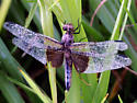 Dragonfly id - Libellula luctuosa - female