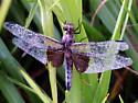 Dragonfly id - Libellula luctuosa - female