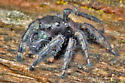 Bold Jumping Spider - Phidippus