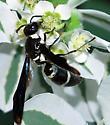 Pseudodynerus quadrisectus nectars at Euphorbia marginata  - Pseudodynerus quadrisectus
