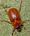 Phyllophaga? - Cyclocephala