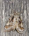 Shed wall moth - Dasychira