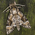 Agrius cingulata