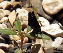 Common Sootywing - Pholisora catullus - female
