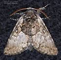 Noctuidae - Colocasia flavicornis - male
