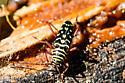 Possible long horn beetle - Placosternus difficilis