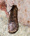 Brown/Black Moth - Acrolophus