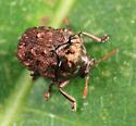 Warty Leaf Beetle - Neochlamisus