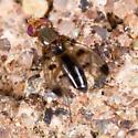 Geomyza ? - Geomyza tripunctata