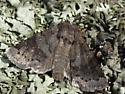 Moth? - Ulolonche modesta