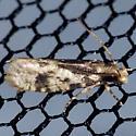 Burrowing Webworm Moth - Hodges #0334 - Amydria effrentella