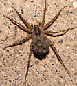 Female Wolf Spider and spiderlings - Pardosa - female