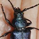 Unknown beetle - Callidium antennatum
