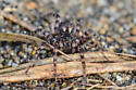 Spider - Arctosa perita - female