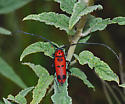 Spotted Tylosis - Tylosis maculatus