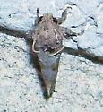 Acrolophus