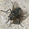 Unidentified Blow Fly