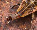 Firefly Larva - Pyractomena