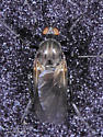 Rhamphomyia - female