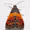 Tripudia flavofasciata - Ember Moth - Tripudia flavofasciata