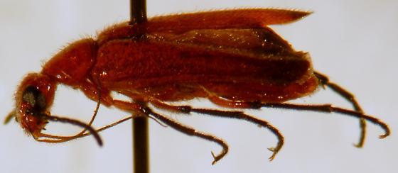 Nemognatha nigripennis