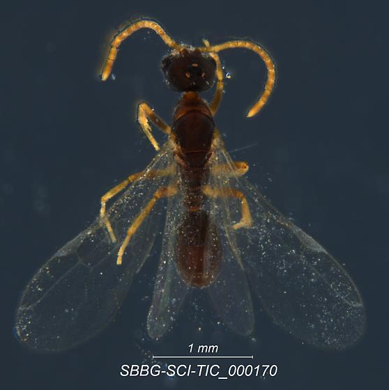 SBBG-SCL-TIC_000170 - Hypoponera punctatissima